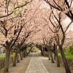 四十八段桜