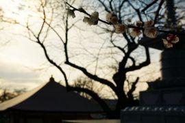 梅香る遊行寺