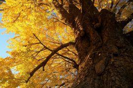 こがね色の御神木